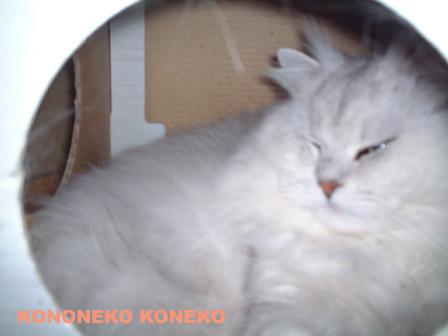 この猫仔猫-バニラ356-