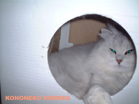 この猫仔猫-バニラ357-