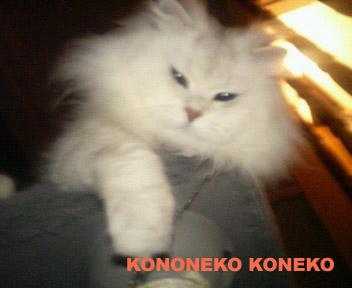この猫仔猫-バニラ368-
