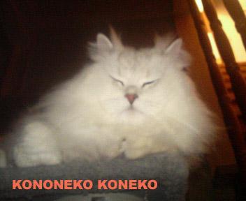 この猫仔猫-バニラ370-