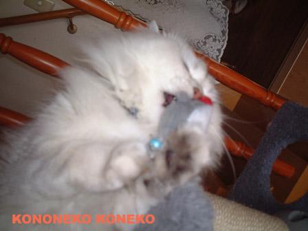 この猫仔猫-バニラ381-