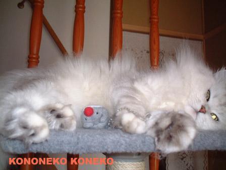 この猫仔猫-バニラ382-