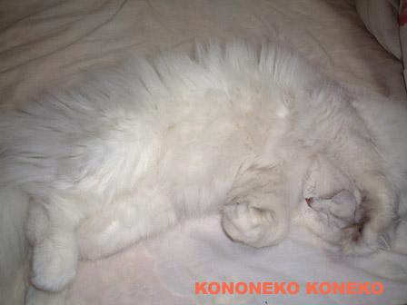 この猫仔猫-バニラ386-