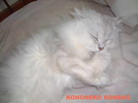 この猫仔猫-バニラ387-