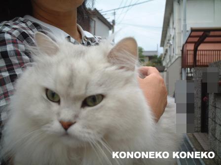 この猫仔猫-バニラ397-