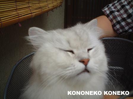 この猫仔猫-バニラ398-
