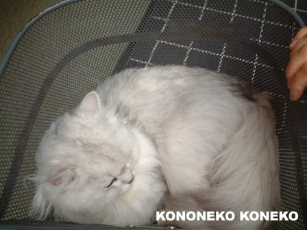 この猫仔猫-バニラ399-