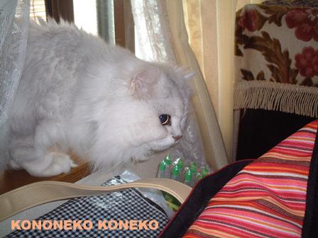 この猫仔猫-バニラ401-