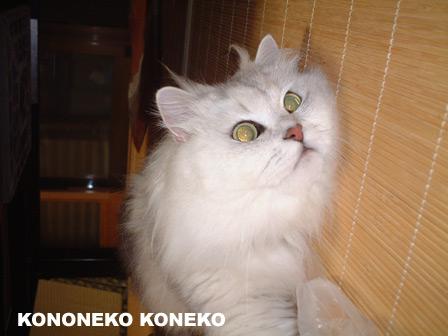 この猫仔猫-バニラ409-