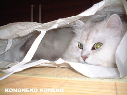 この猫仔猫-バニラ410-