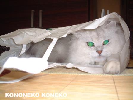 この猫仔猫-バニラ411-