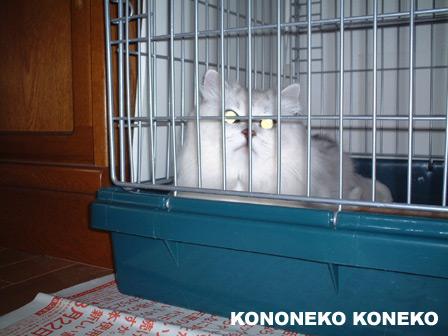 この猫仔猫-バニラ426-