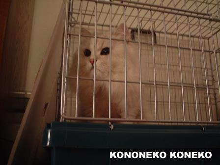 この猫仔猫-バニラ429-
