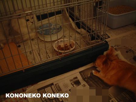 この猫仔猫-バニラ428-