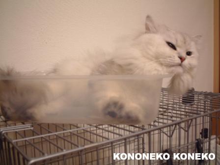 この猫仔猫-バニラ443-