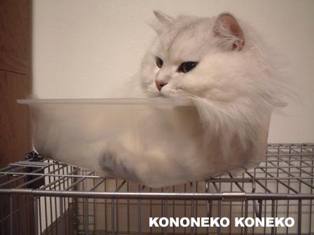 この猫仔猫-バニラ442-