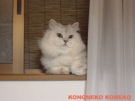 この猫仔猫-バニラ445-