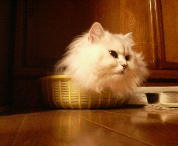 この猫仔猫-バニラ449-