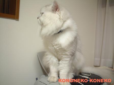 この猫仔猫-バニラ452-