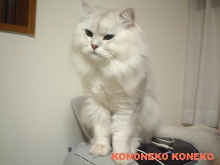 この猫仔猫-バニラ455-