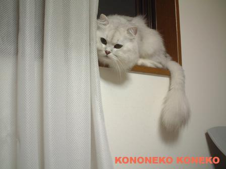 この猫仔猫-バニラ456-