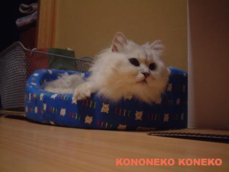 この猫仔猫-バニラ457-