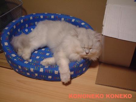 この猫仔猫-バニラ459-