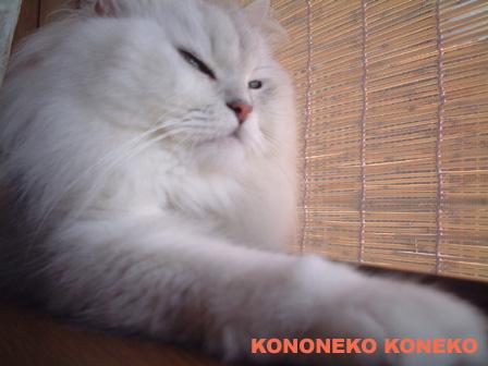 この猫仔猫-バニラ460-