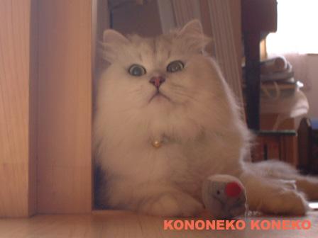 この猫仔猫-バニラ461-