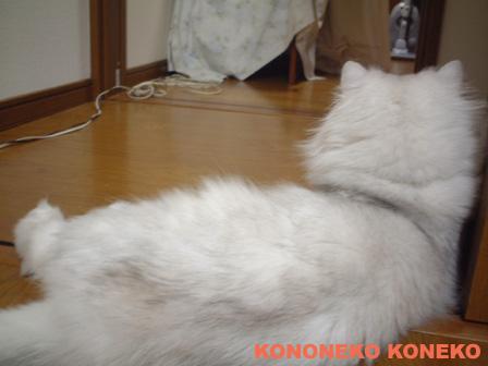 この猫仔猫-バニラ462-
