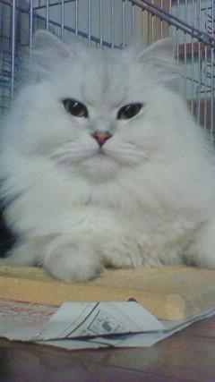 この猫仔猫-バニラ464-