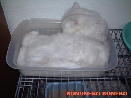 この猫仔猫-バニラ466-