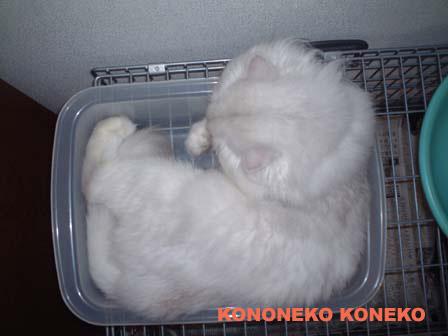 この猫仔猫-バニラ467-