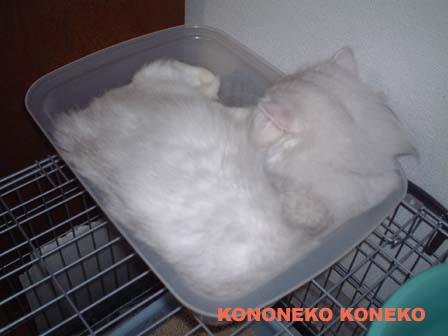 この猫仔猫-バニラ469-