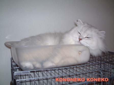 この猫仔猫-バニラ470-