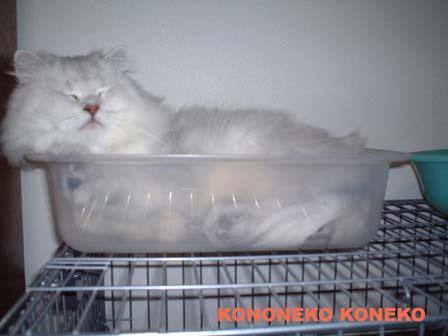 この猫仔猫-バニラ471-