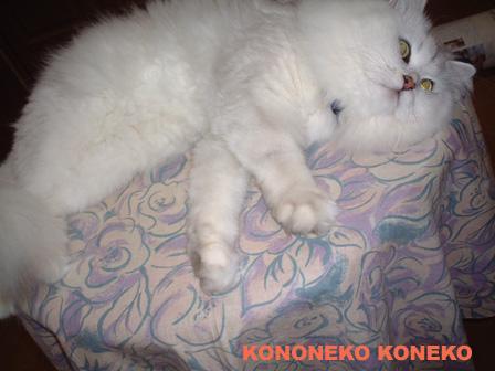 この猫仔猫-バニラ476-
