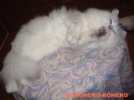 この猫仔猫-バニラ478-
