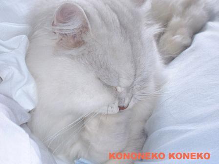 この猫仔猫-バニラ482-