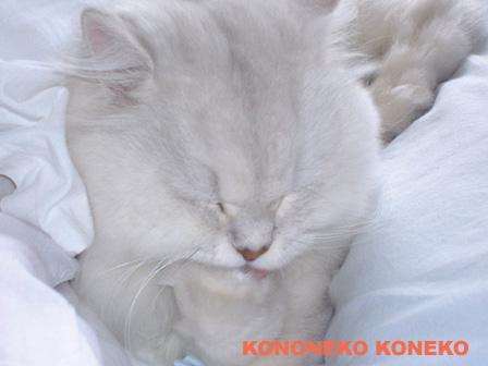 この猫仔猫-バニラ483-