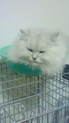 この猫仔猫-バニラ494-