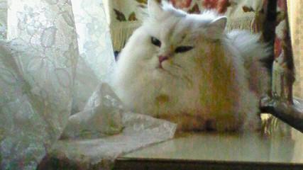 この猫仔猫-バニラ499-