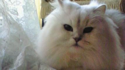 この猫仔猫-バニラ500-