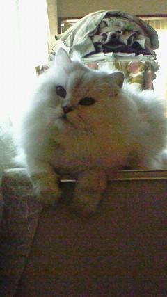 この猫仔猫-バニラ501-