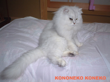この猫仔猫-バニラ506-