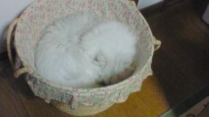 この猫仔猫-バニラ509-