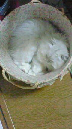 この猫仔猫-バニラ510-