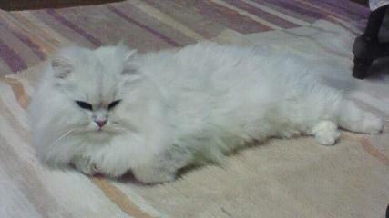 この猫仔猫-バニラ515-