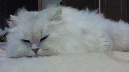 この猫仔猫-バニラ516-