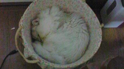 この猫仔猫-バニラ523-